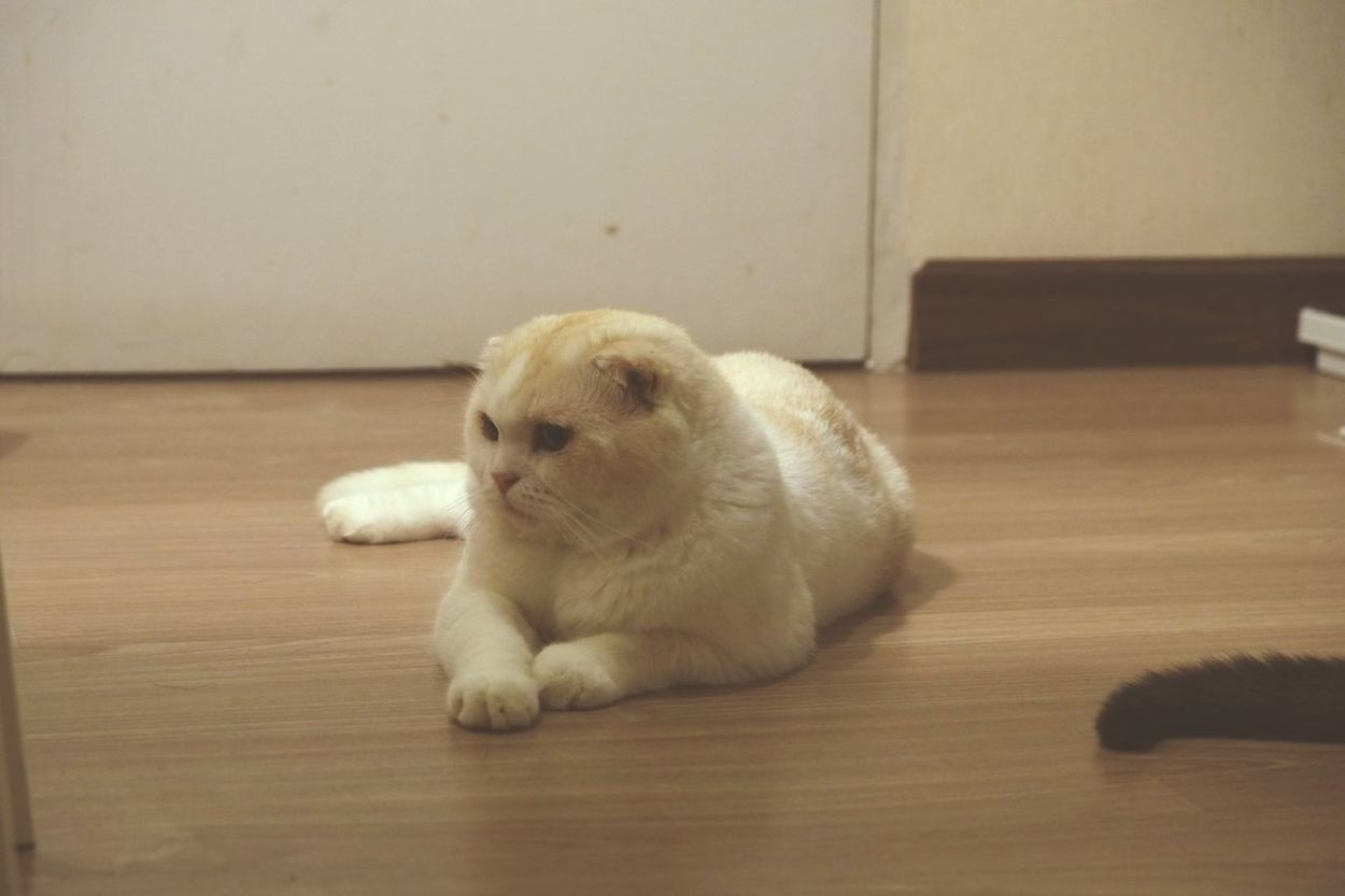 Cat Cat Lovers Worldcatday Pet Photography  Scottish Fold Scottish Catstagram Playing With The Animals แมวไข่ Pet Photography  Pet