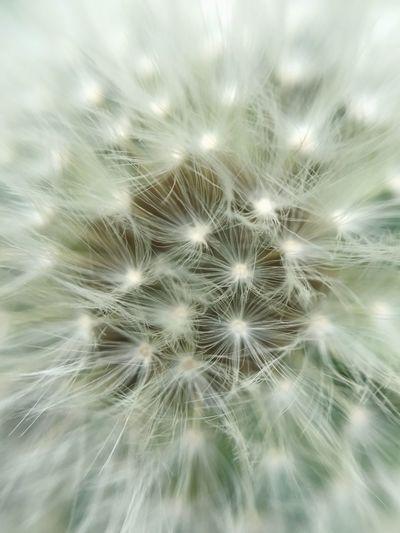 Coltsfoot - macro Flower Softness Growth Freshness Beauty In Nature Macro Macro Photography Macro Nature Macro Beauty