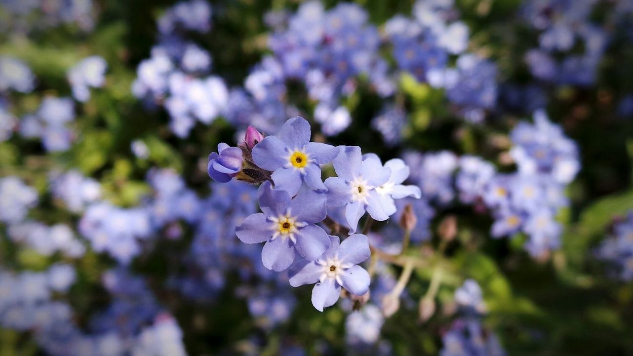 Fortticonderoga Historical Garden Historic Garden Historical Place EyeEm Nature Lover Forget Me Nots Flowers_collection Macro_collection