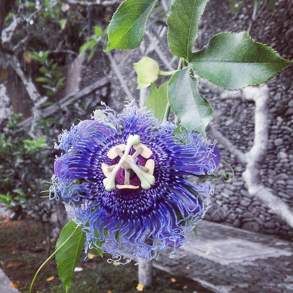 Flowerstagram Nature Blue Purple Flower Flowergood Flowergarden Flowerlove Love Cute INDONESIA Bali Goodpicture Like4like Follow Thanksforyou