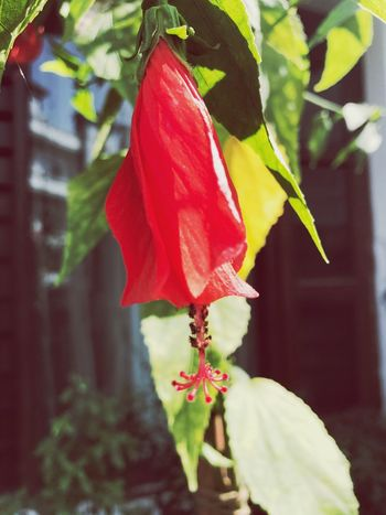 Flower Red Petal Growth Fragility Beauty In Nature Nature Freshness Plant Flower Head Day Leaf No People Close-up Outdoors Hibiscus Blooming