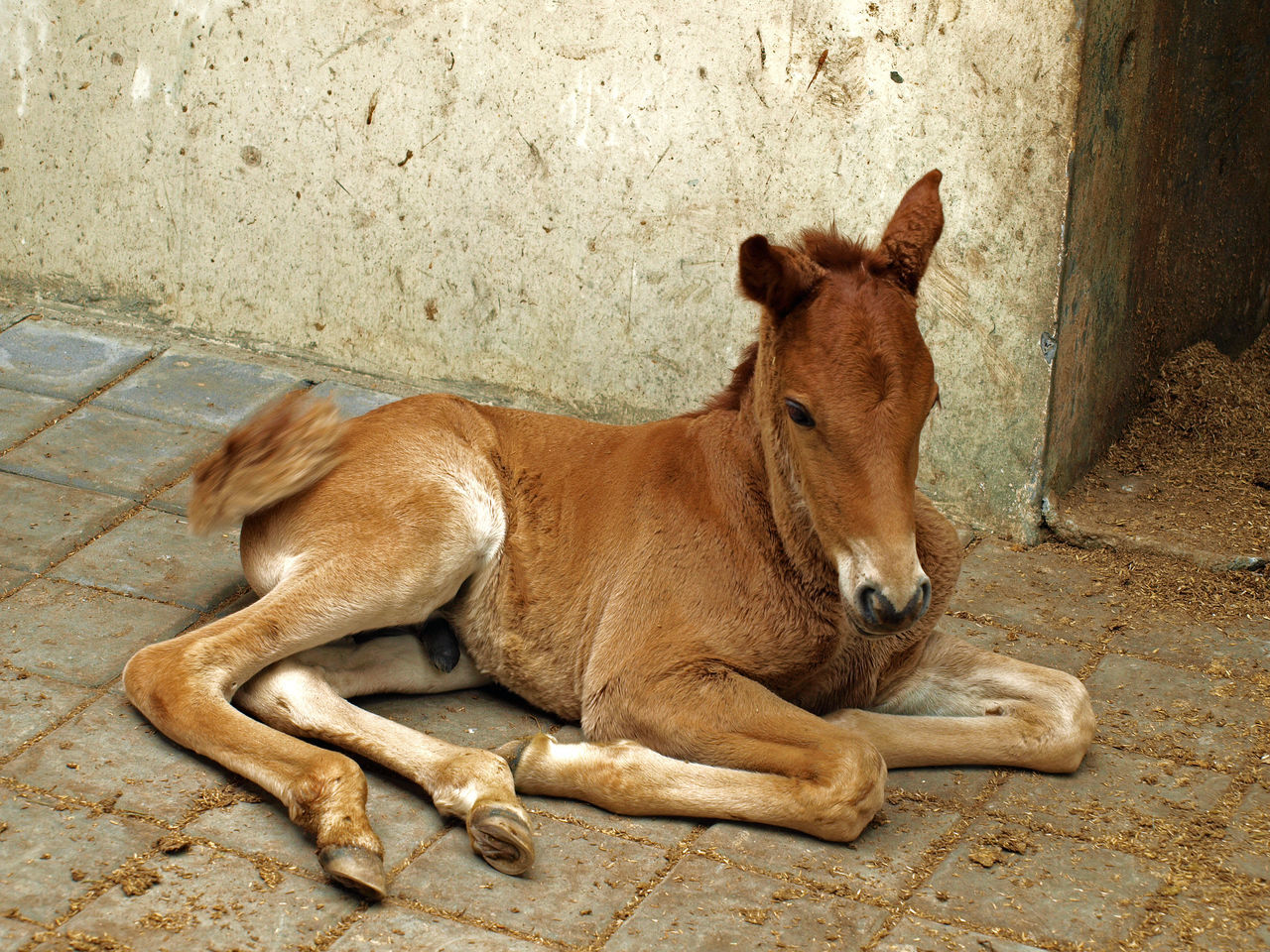 Baby Baby Horse Baby ❤ Chestnut Chestnut Foal Chestnut Horse Close-up Colt Eye4photography  EyeEm Best Shots EyeEm Nature Lover Foal Foal Resting Horse Horse Life Horse Photography  Horses INDONESIA Indonesia_photography Lying Down Resting Young Young Foal
