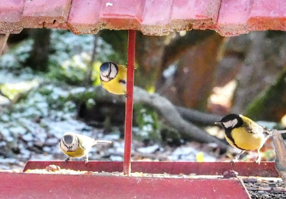 Animal Themes Bird Animals In The Wild Animal Wildlife Focus On Foreground Hanging Perching Close-up Outdoors Nature Winter Nature Outside Animals In The Wild Nature Bird Eating Bird Feeder Birdhouse