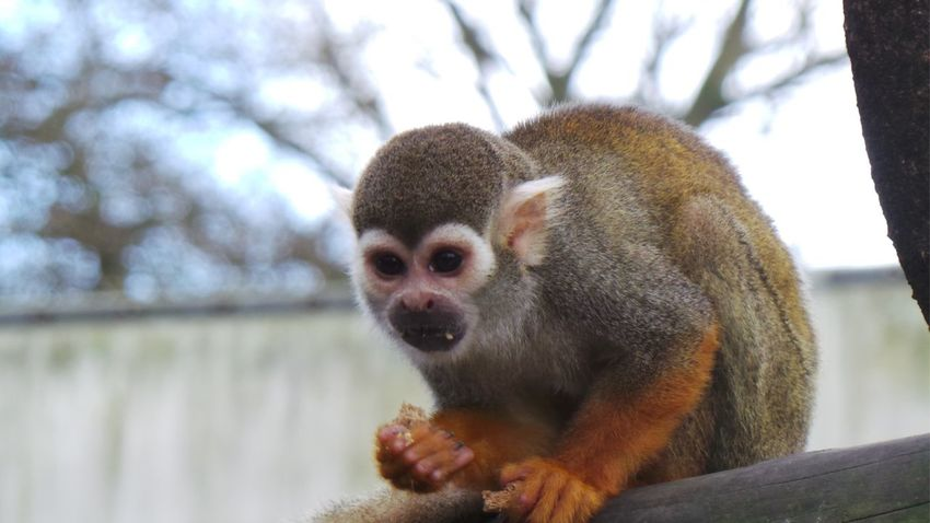 Squirrel Monkey Woburn Safari Zoo