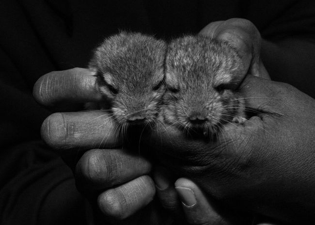 Animal Themes Baby Chinchillas Blackandwhite Domestic Animals Holding Animals Pets Monochrome Photography