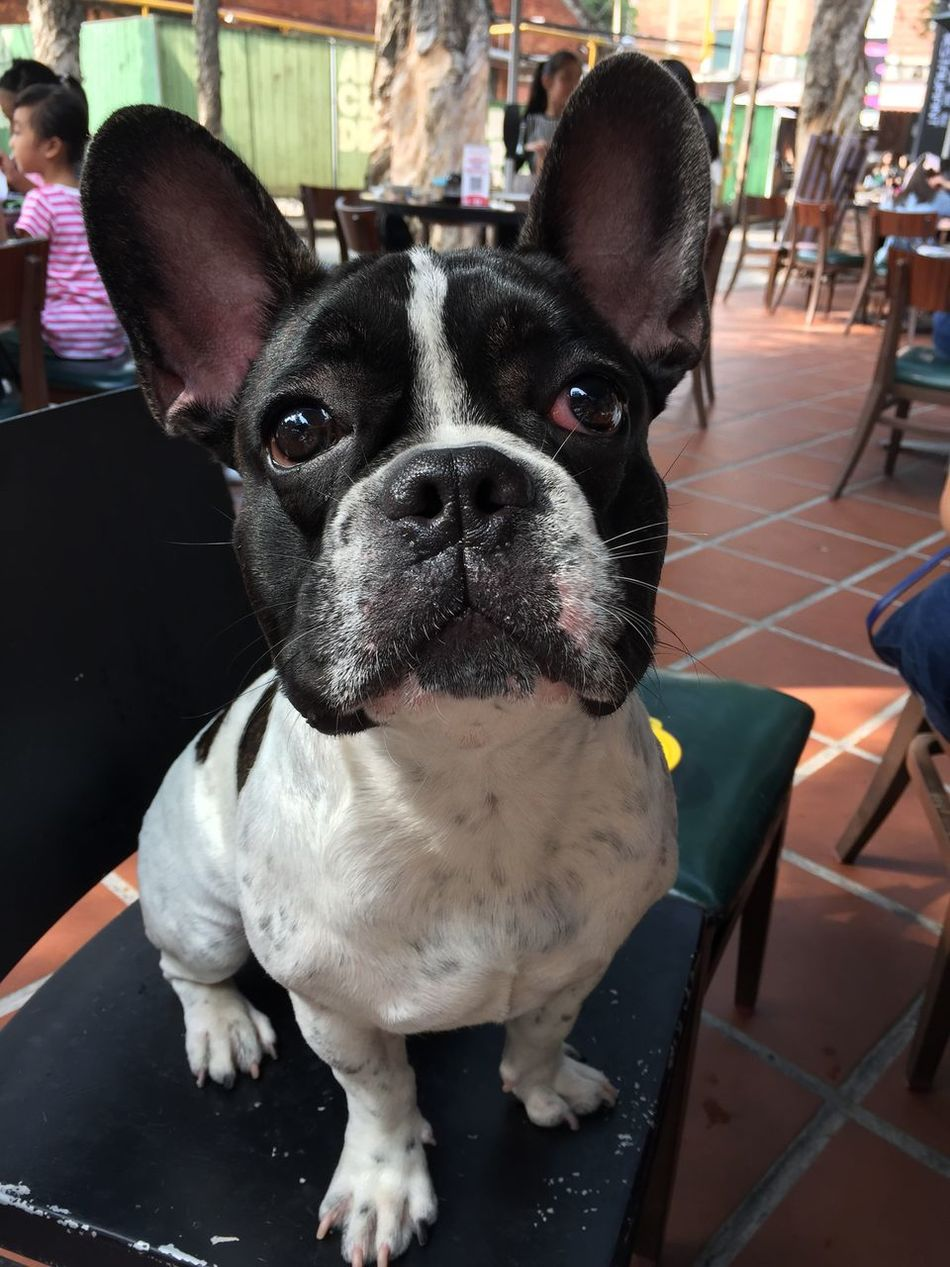Animal Themes Domestic Animals Dog One Animal Looking At Camera Pets Portrait Mammal No People Close-up Day Boston Terrier Outdoors Bulldog My Angel My Dog