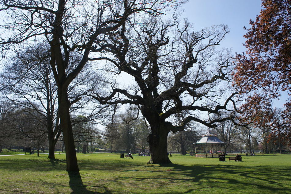 Bandstand Cassiobury Park English Oak Old Oak Tree Park Quercus Robur Sunny Day Tree