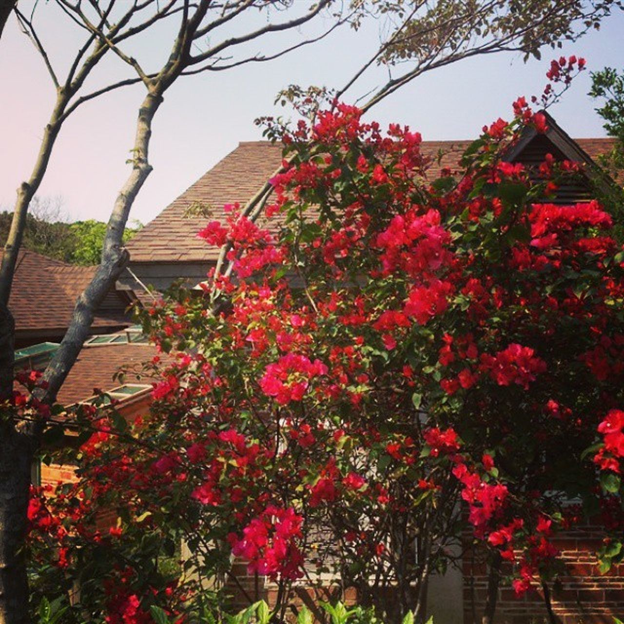 flower, tree, growth, low angle view, no people, day, blossom, fragility, outdoors, branch, red, nature, springtime, beauty in nature, freshness, plant, blooming, bougainvillea, building exterior, flower head, close-up, sky