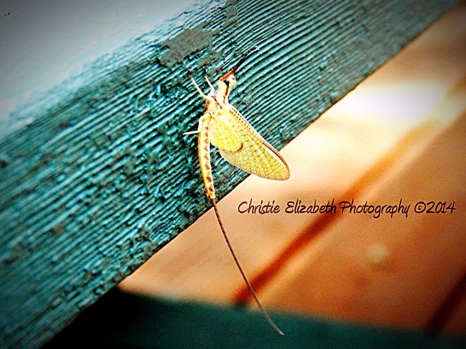 Shadow Lakes Shadowlakes Shadow Lakes, Wilmington Wilmington Wilmington, Illinois Bug Bugs Bugslife Bugs! Insect Insects  Insect Photography Insects Collection Insect Photo Bugs Life Insect Paparazzi Insect Porn Insect_perfection Buggy Yellow Green Wings Tail Wing