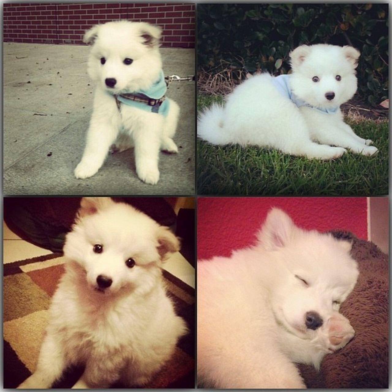 This is my puppy! His name's Tofu ^-^ トフ Puppy KAWAII トフ かわいい Whitepuppy