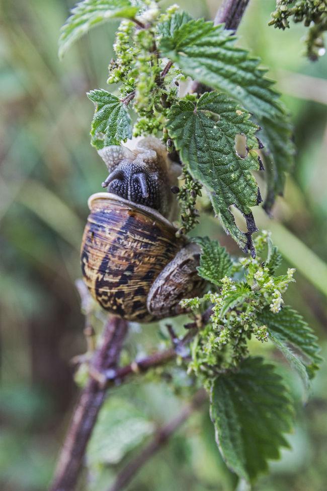Garden snail consuming a plant. Eating Garden Landscape Molusc People Shell Snail Vegetables