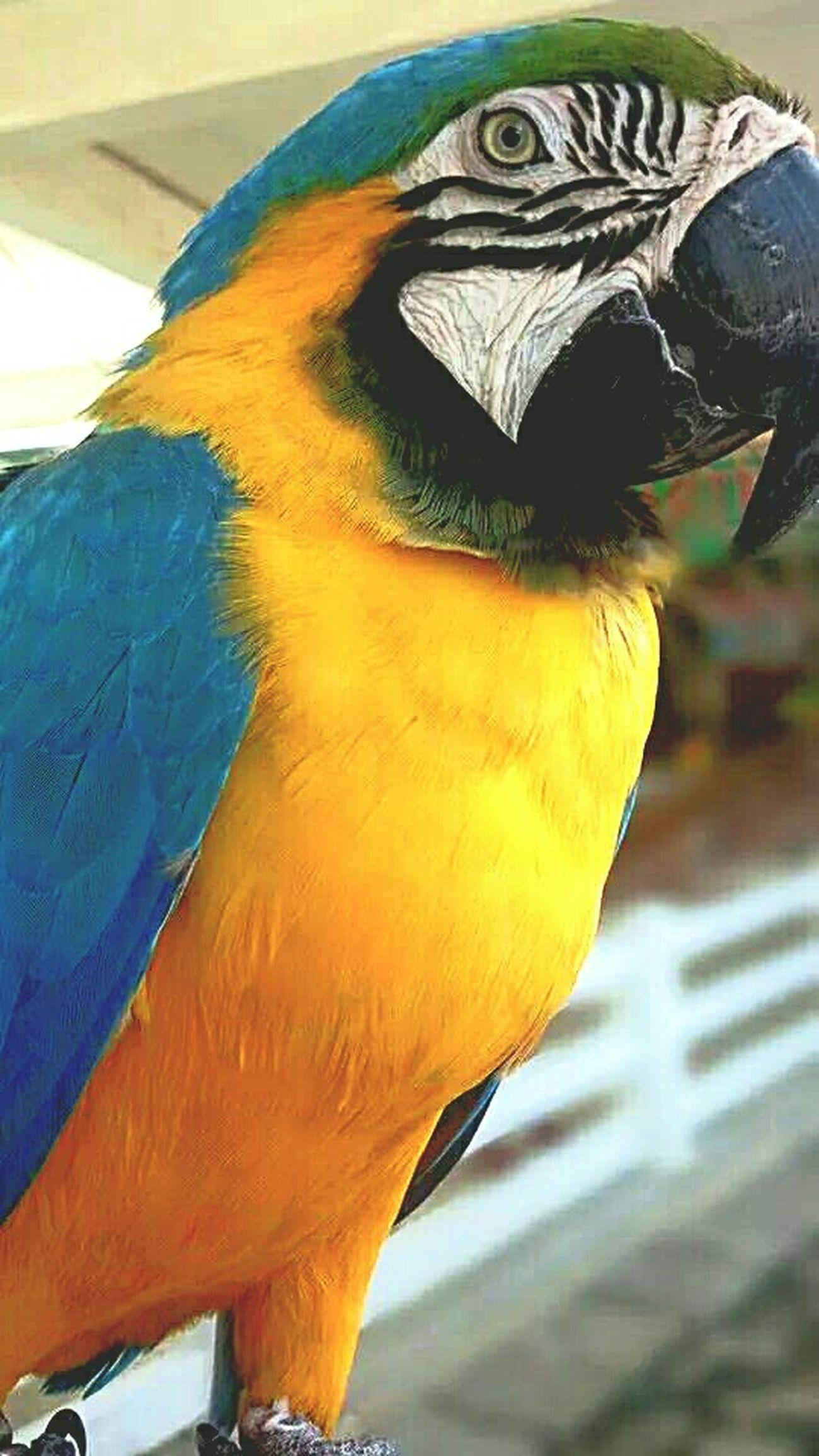 Parrot Bird Ilocosnorte BaluarteNiChavit