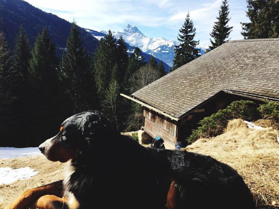 Just Chilling with my beautiful Bernese Mountain Dog in our Chalet in the Swiss Alps