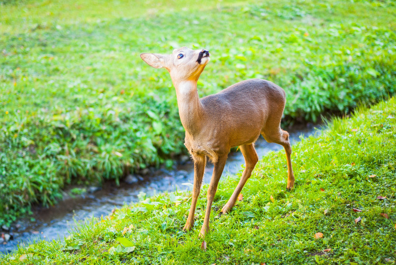Roebuck on stream. Animal Themes Animal Wildlife Animals In The Wild Day Grass Green Color Mammal Nature No People One Animal Outdoors Portrait Roe Deer Roebuck Roé Standing Stream Venison