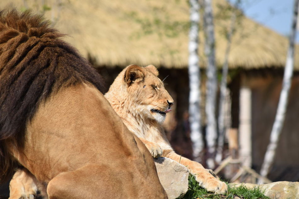 lion Animal Themes Animals In The Wild Close-up Day Feline Focus On Foreground King Lion Mammal Nature No People One Animal Outdoors Powerful Rock Strong
