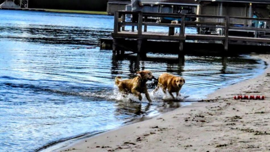 Animal Themes Domestic Animals Mammal Water Nature Pets Dog No People Outdoors Fun Water Play Rippled Lake Labrador Waterfront Beach Reflection Dog Swimming Dog Playing Dogs Golden Retriever Beauty In Nature