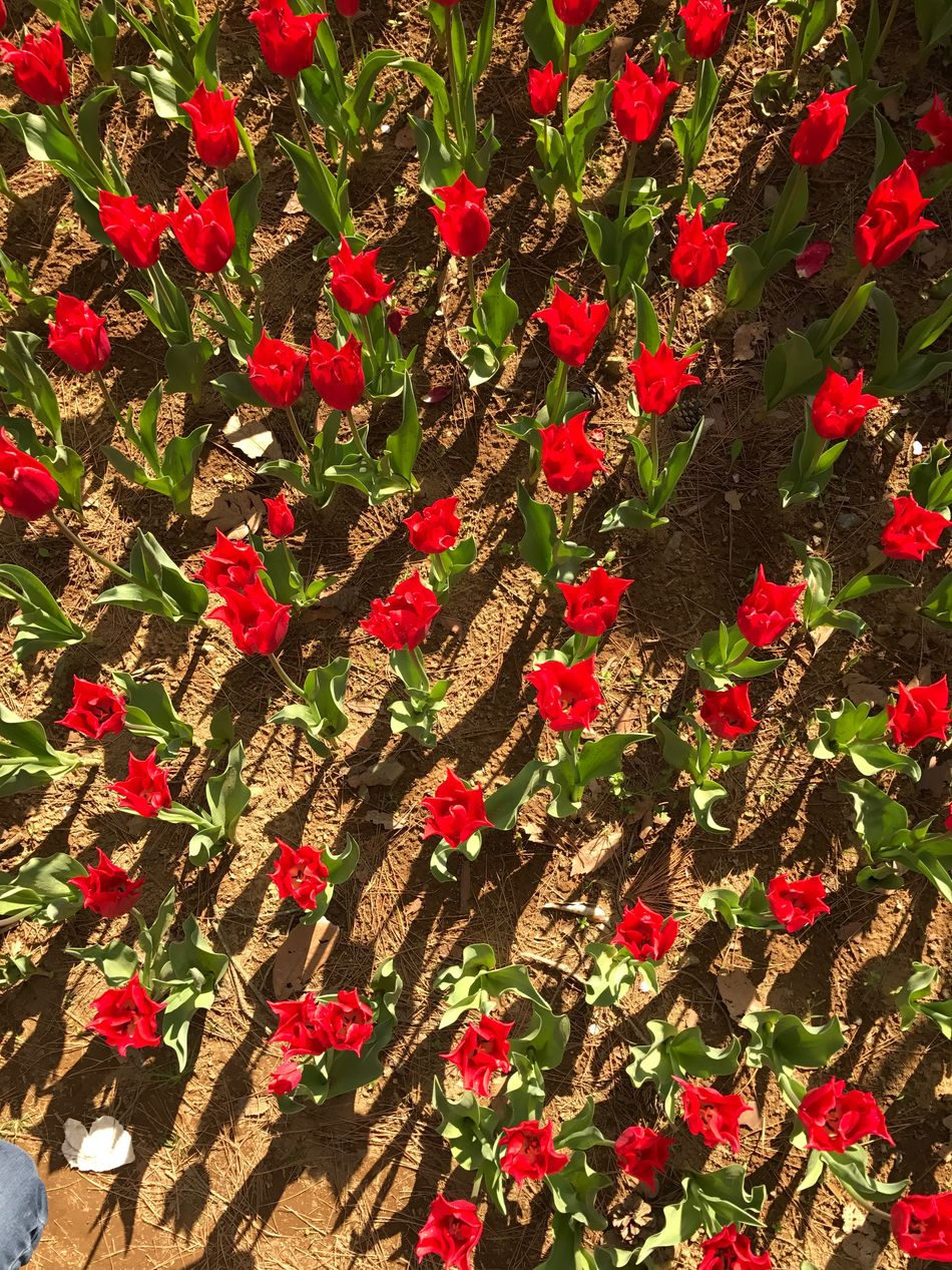 HitachiSeaSidePark Growth No People Red Field Flower Day Nature Outdoors Freshness Leaf Beauty In Nature Fragility Close-up Flower Head