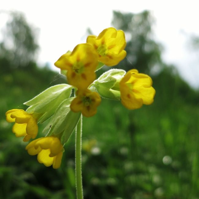 In May there are many lovely cowslip on the ground, in the area of Eco Park Omberg. Flower Spring Trekking Cowslip
