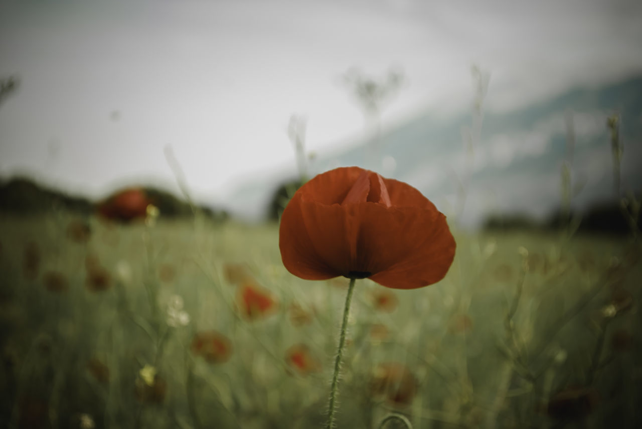 a poppy.. Beauty In Nature Close-up Day Field Flower Flower Head Fragility Freshness Growth Nature No People Outdoors Petal Plant Poppy Sky