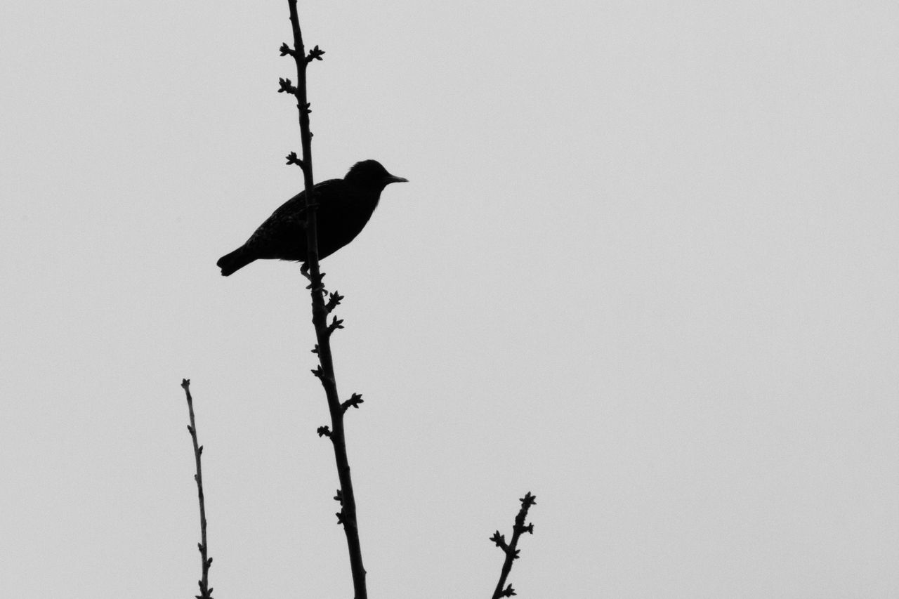 Low Angle View Of Raven Perching On Branch Against Clear Sky