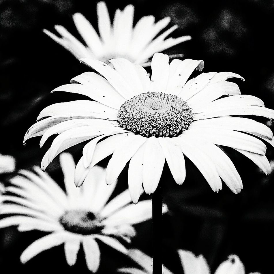 Flower Flower Head Beauty In Nature Close-up Petal Bnw_collection Bnwphotography Bnw_maniac Daisy Flower Daisy Flower Head Daisy Bank Daisylove Blackandwhitepics EyeEmNewHere Blackandwhitephotos Beauty In Nature Nature_collection EyeEm Best Shots Naturephotography Natureporn Blackandwhiteonly Bnw_shot Bnw_universe Bnw Photography
