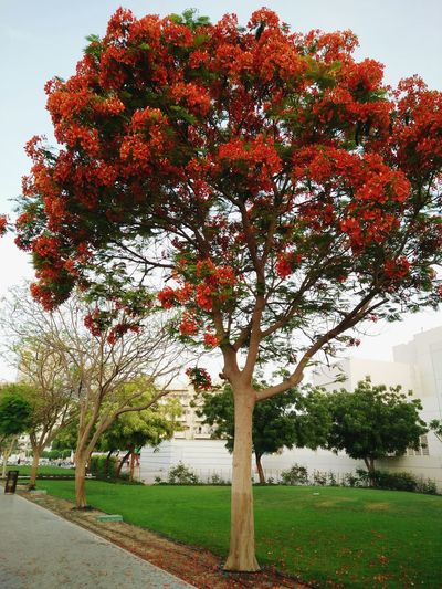 Freshness Beauty In Nature Landscape Red Nature Day Outdoors UAE Dubai Unionstation FireTree Tree