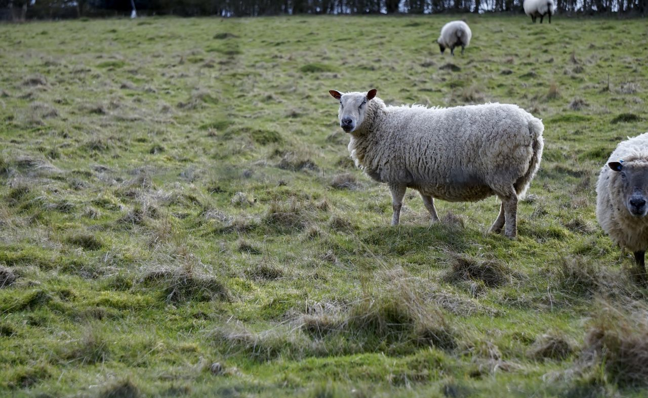 grass, animal themes, field, domestic animals, day, mammal, green color, no people, nature, outdoors, livestock, sheep, standing, growth
