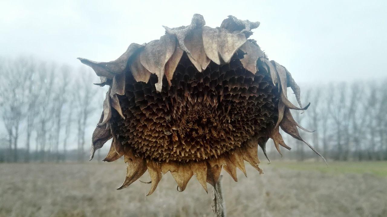 den Winter überstanden!!! ...und jetzt? Sonnenblume Sunflower Nature Outdoors Close-up Flower Sky Beauty In Nature Flower Head Verwelkte Blumen🌾 Verwelkt