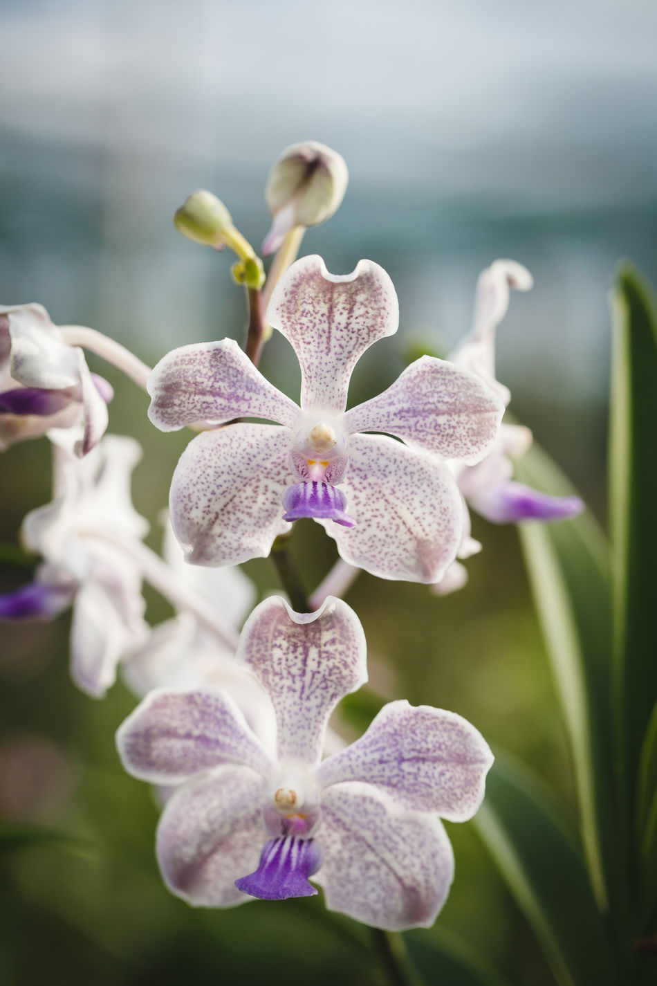 Beautiful stock photos of orchid, Beauty In Nature, Blooming, Close-Up, Day