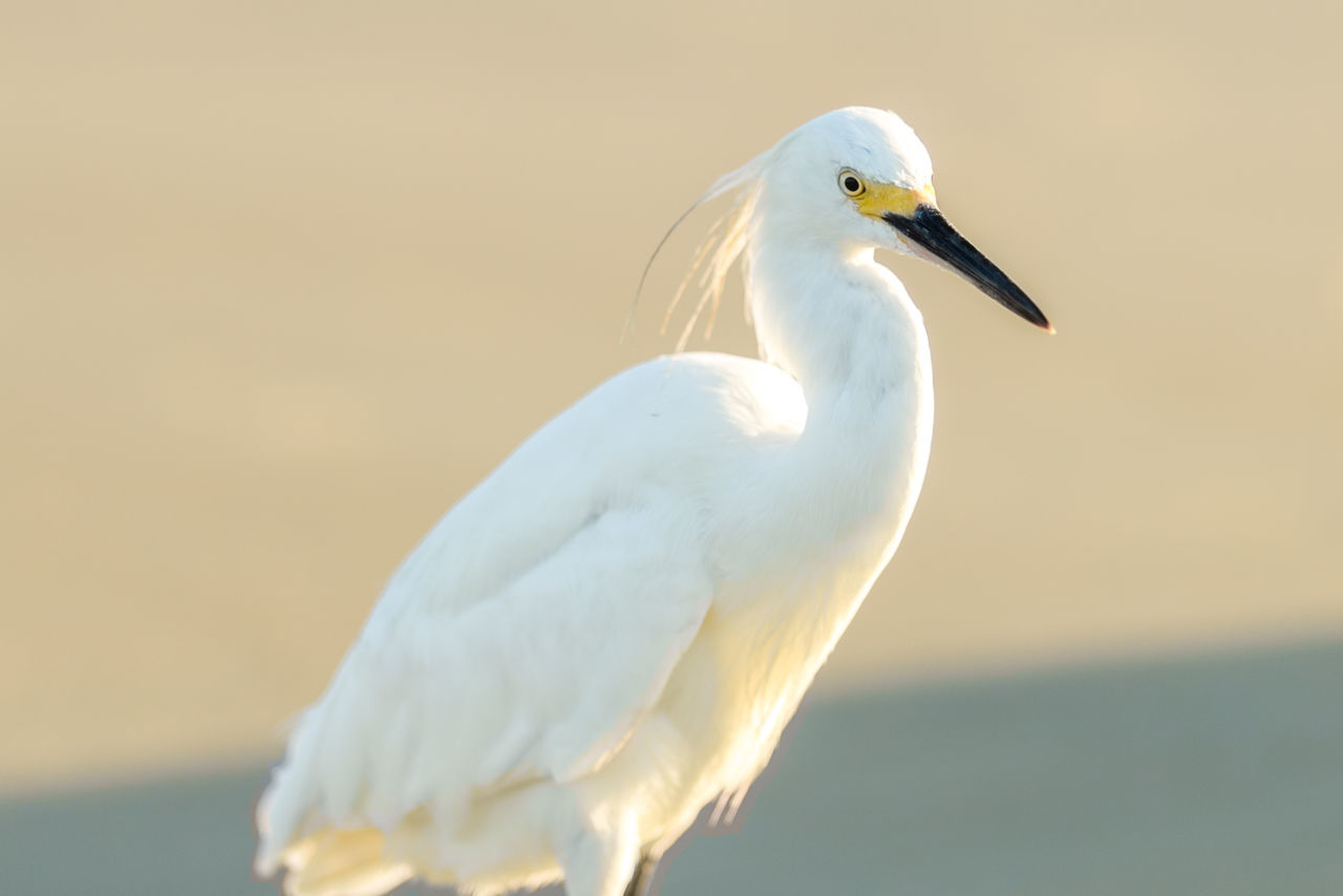 Close-Up Of Great Egret Perching Outdoors