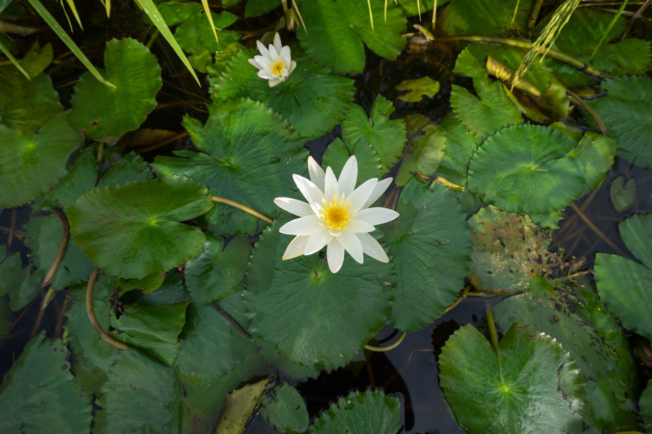 Lotus water lily blossom in natural pond Beauty In Nature Blossom Day Floating On Water Flower Flower Head Fragility Freshness Green Green Color Growing Growth High Angle View In Bloom Leaf Lotus Water Lily Nature Petal Plant Pollen Single Flower Springtime Water Water Lily White Color
