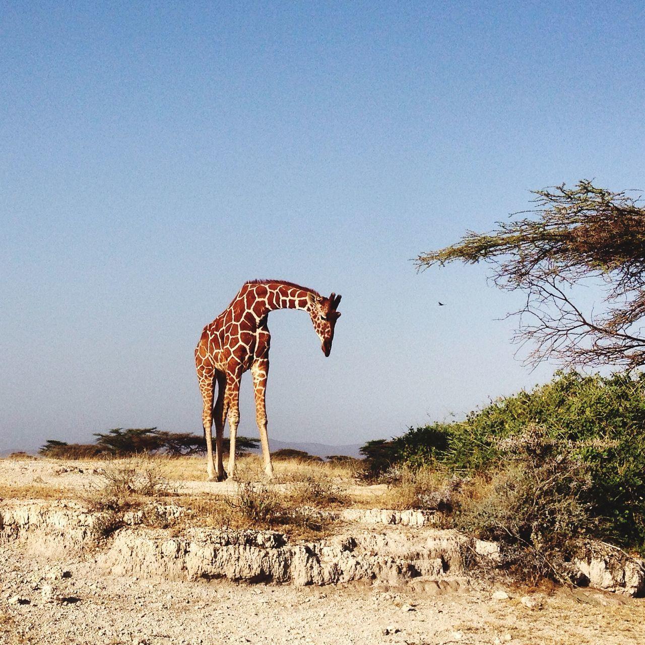 Beautiful stock photos of giraffe, Animal Themes, Animals In The Wild, Arid Climate, Clear Sky