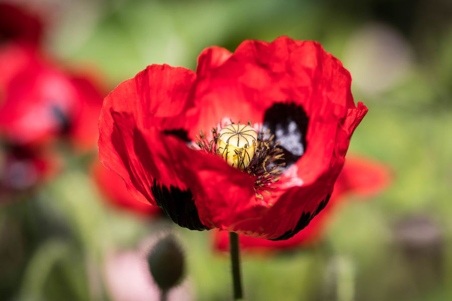 Beauty In Nature Black And Red Blackandred Close-up Day Flower Flower Head Fragility Freshness Growth Macro Photography Macroflower Nature No People Outdoors Petal Plant Red RedFlower Remembrancepoppy