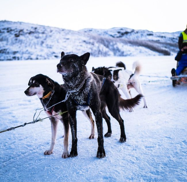 Dog Days! Dog Dogs Of EyeEm Husky Sledge Sledge Dog Ice Fjord Fjordsofnorway Norway