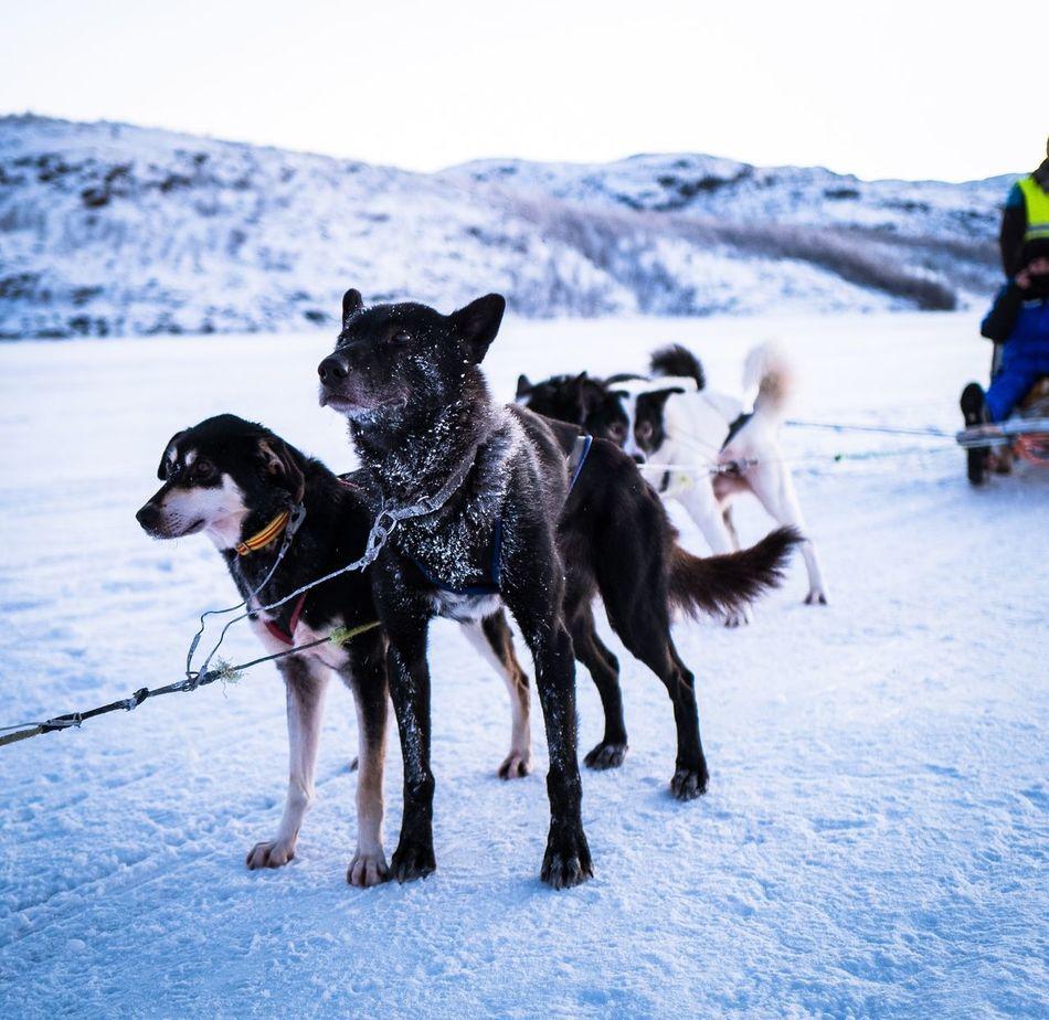 Dog Days! Dog Dogs Of EyeEm Husky Sledge Sledge Dog Ice Fjord Fjordsofnorway Norway