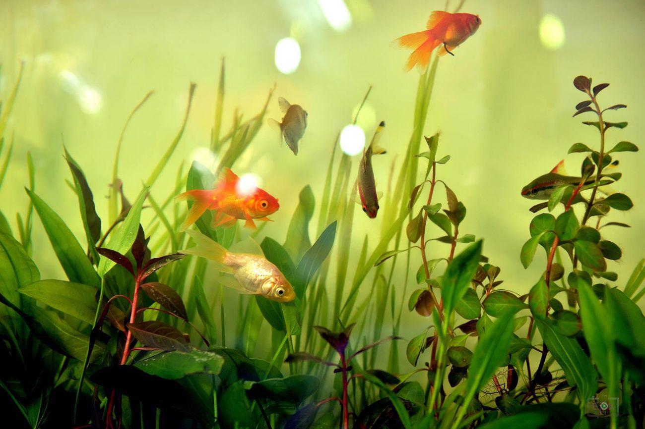 Taking Photos Fish Goldfish Fishtank
