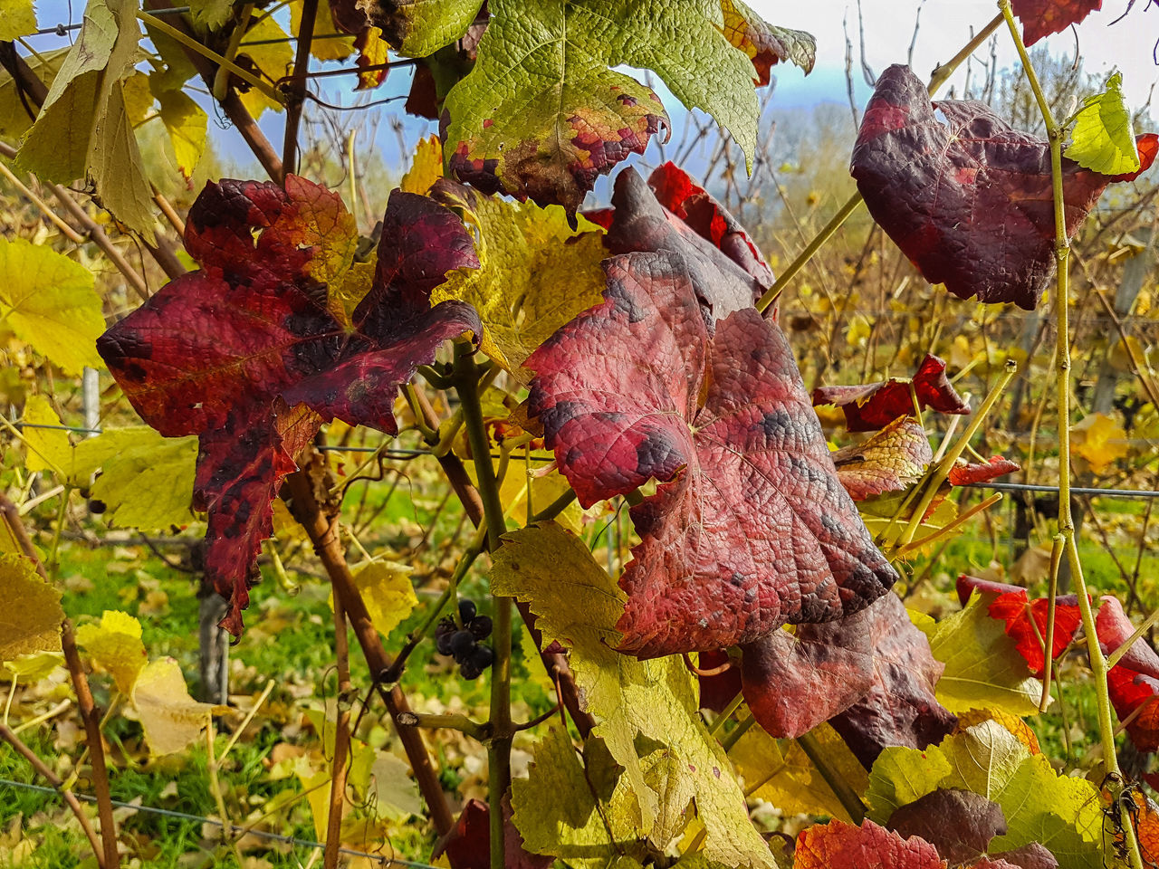 Weinstock 1 Miltenberg Autumn Autumn Collection Autumn Colors Autumn Colours Autumn Leaves Canoma Photography Miltenberg S7 Edge S7 Edge Photography S7edge S7Edgecamera S7edgephoto S7edgephotography Vineyard Vineyard Cultivation Vineyards  Weinstock
