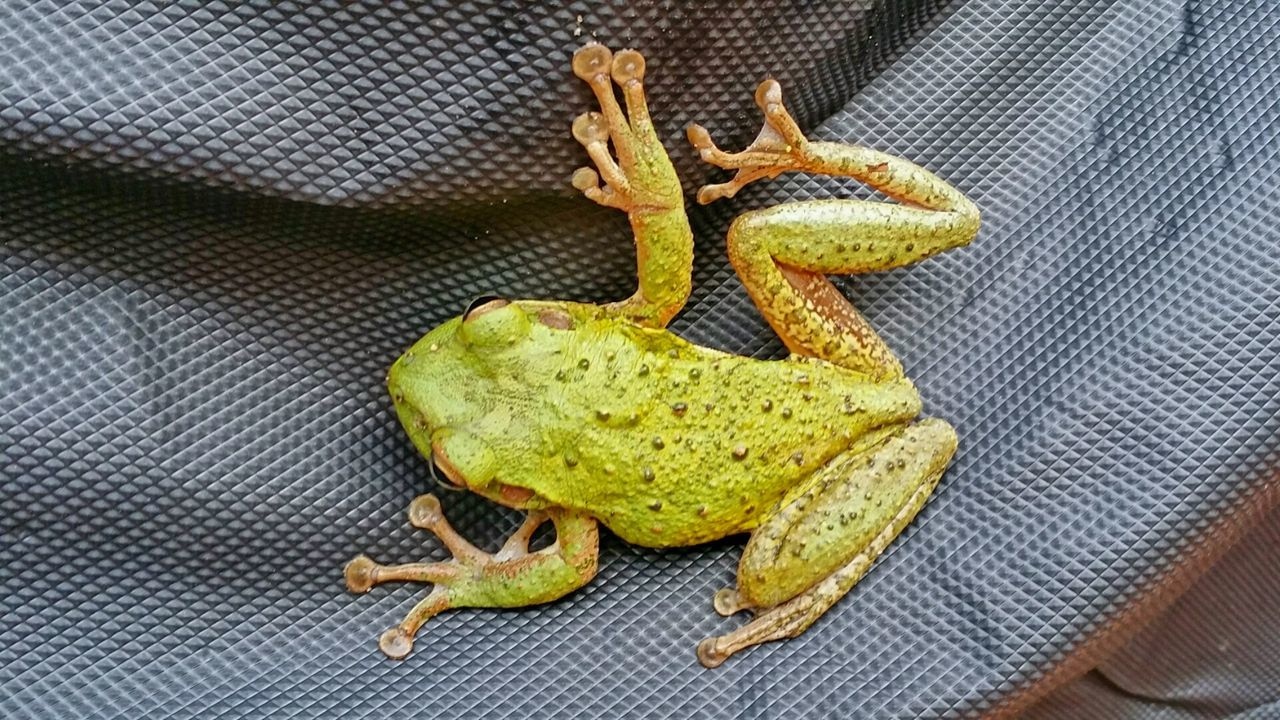 Beautiful stock photos of frog, Amphibian, Animal Themes, Animals In The Wild, Biology