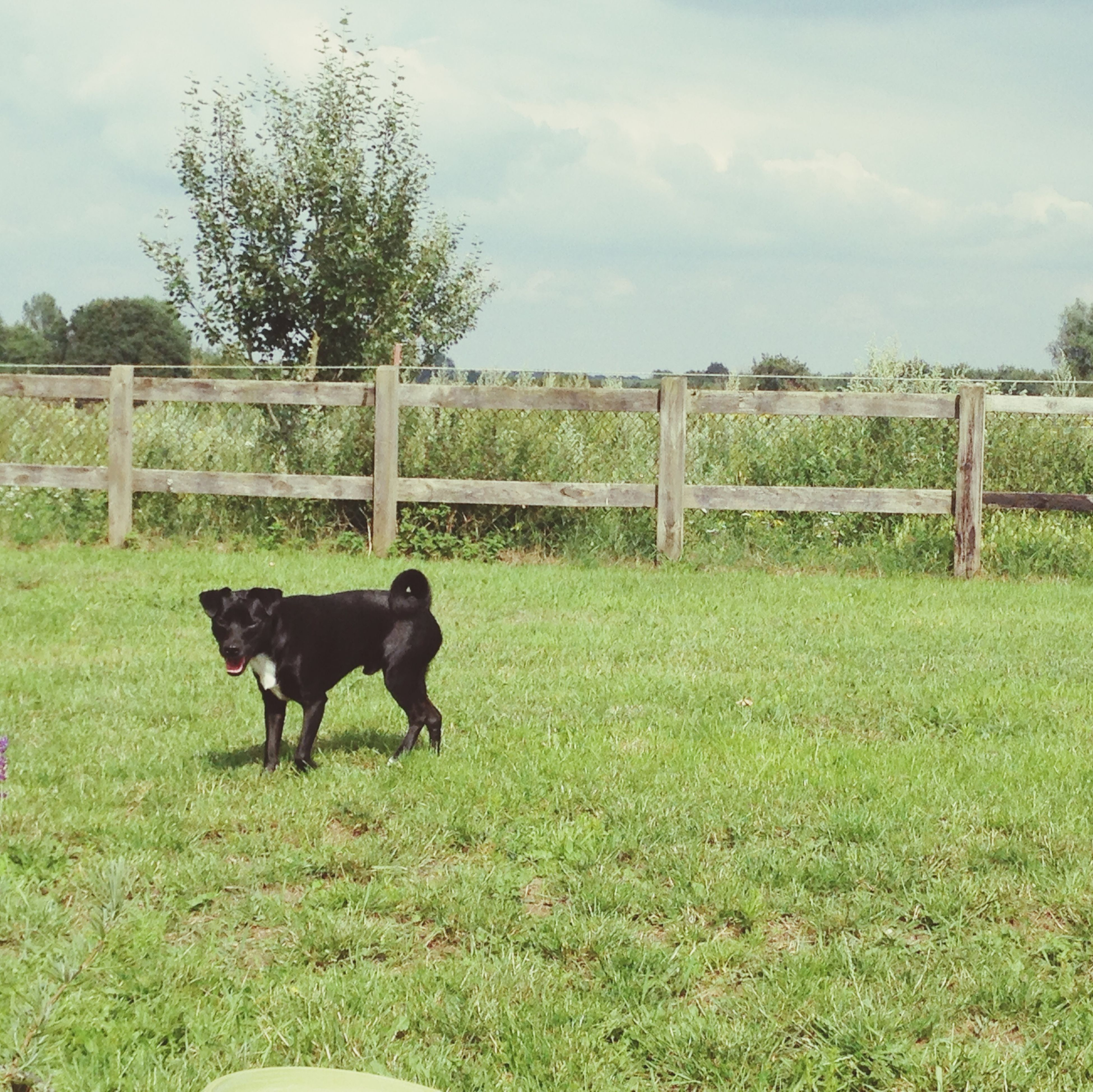 domestic animals, grass, animal themes, mammal, pets, one animal, field, grassy, dog, sky, tree, green color, fence, park - man made space, nature, black color, standing, day, horse, cloud - sky