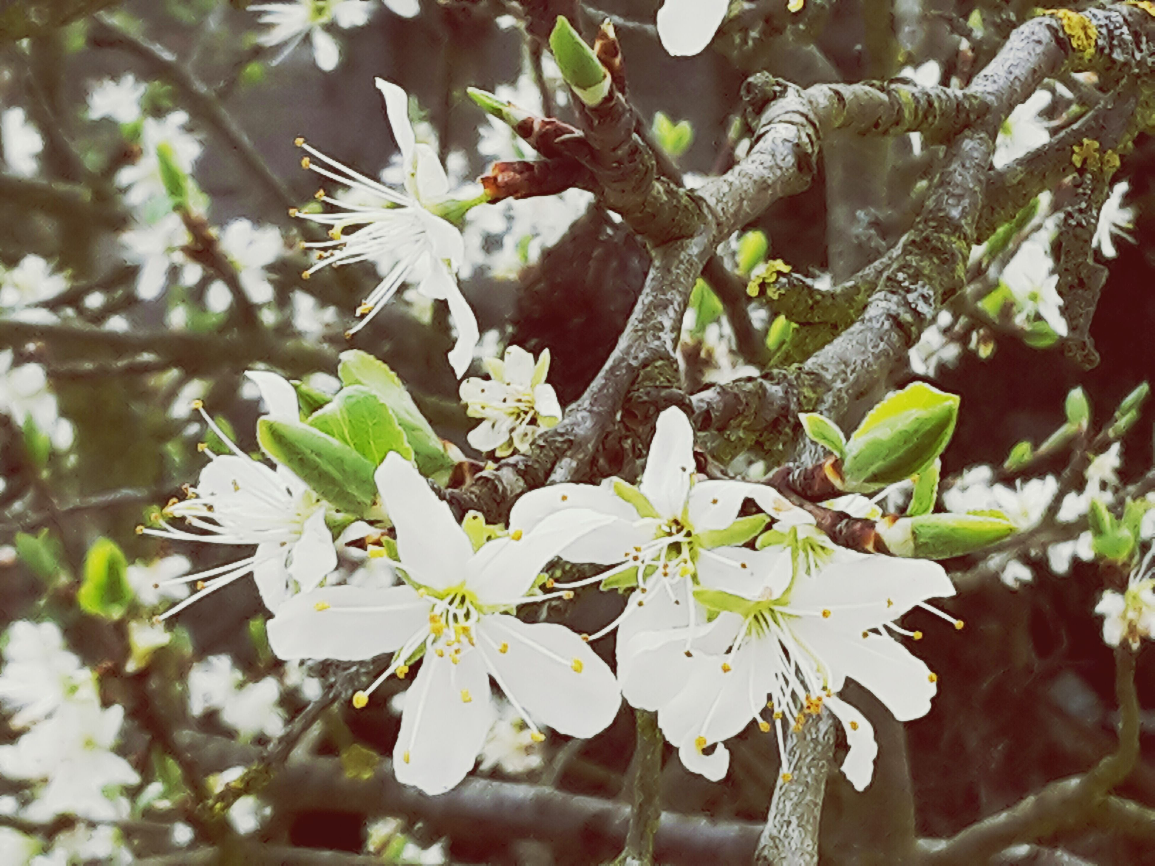 flower, growth, freshness, fragility, focus on foreground, tree, white color, branch, nature, beauty in nature, petal, close-up, blooming, blossom, in bloom, flower head, plant, twig, springtime, cherry blossom