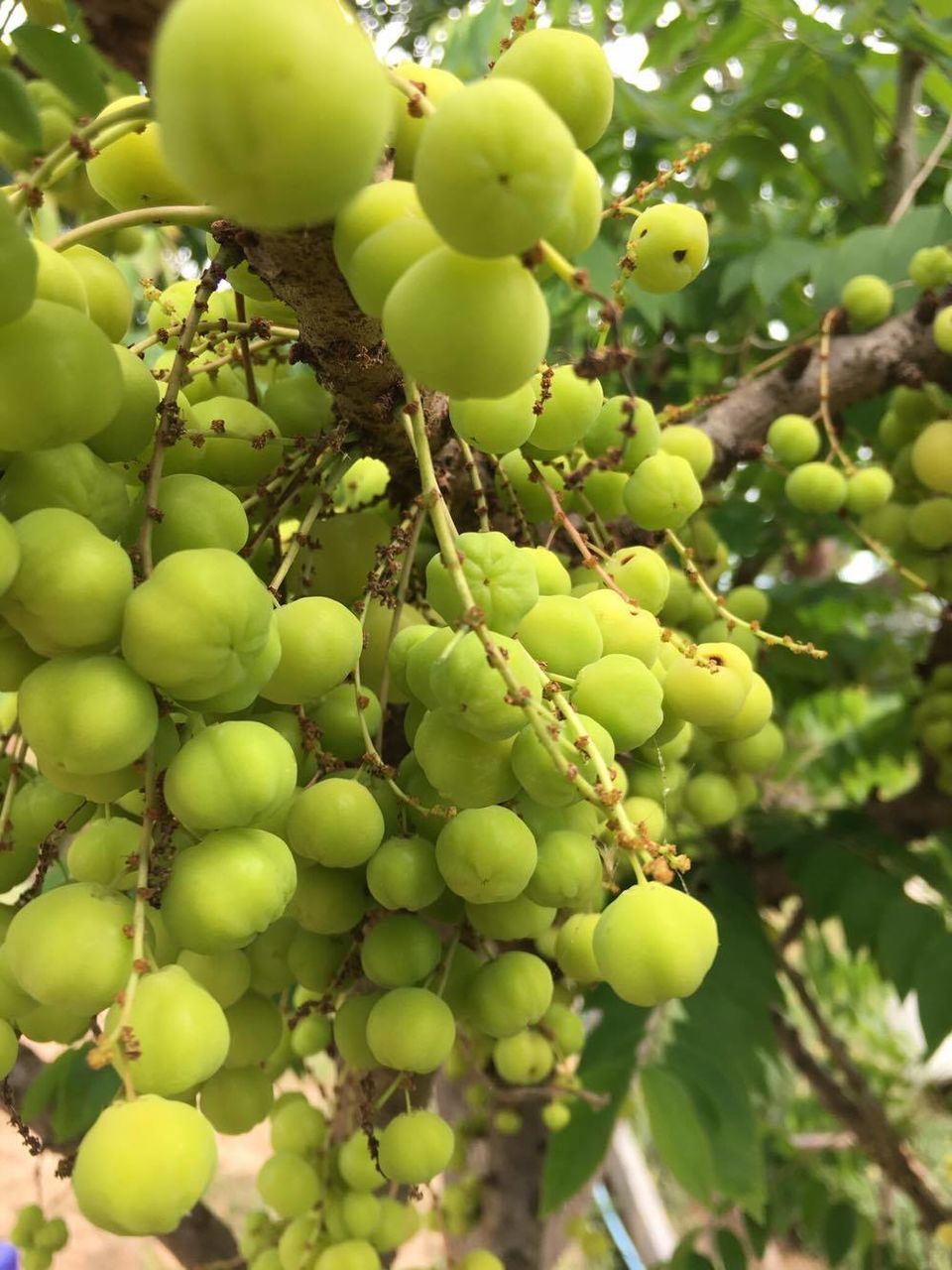 fruit, food and drink, growth, green color, food, bunch, grape, day, growing, unripe, outdoors, no people, tree, nature, freshness, healthy eating, agriculture, hanging, beauty in nature, close-up