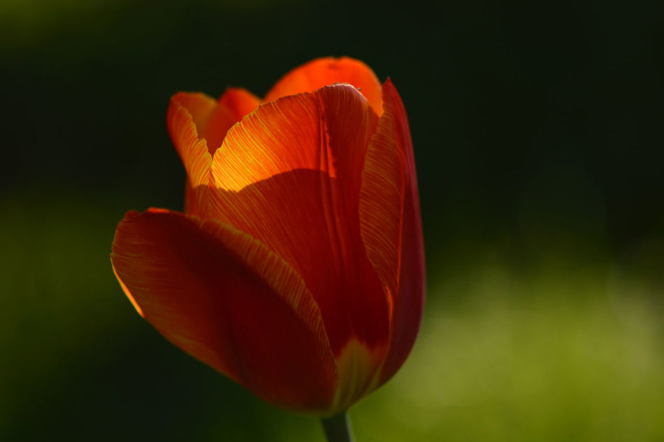 Tulip - Golden hour... Red No People Close-up Nature Outdoors Beauty In Nature Day Tulip Tulips Flower Flower Head In Bloom Fragility Tranquility Growth Freshness Botany Golden Hour Springtime Macro Macro_flower Single Flower Depth Of Field Sunlit Plant