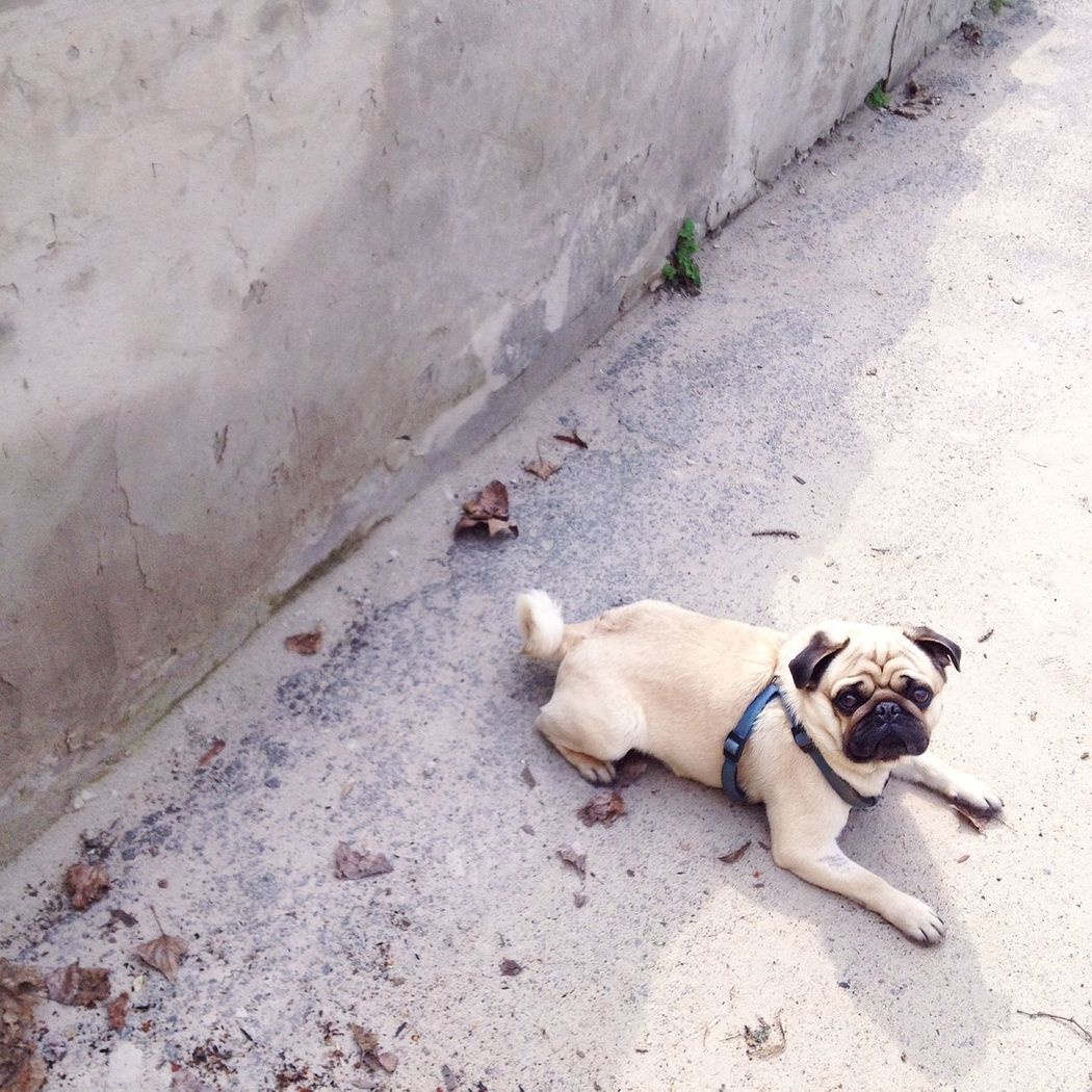 мопс люблюмопса Pug Lovepugs Dog