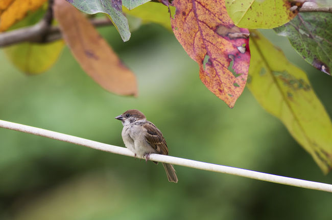 Tree Sparrow on Nature Background Animal Animal Themes Avian Beauty In Nature Bird Branch Close-up Day Focus On Foreground Green Color Nature No People Outdoors Perching Selective Focus Songbird  Sparrow Sparrows Wildlife