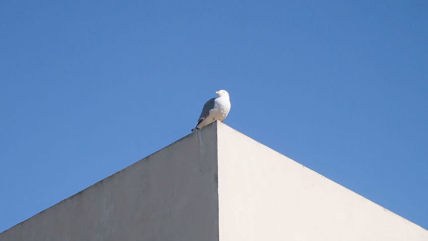 Animal Themes Animal Wildlife Architecture Bird Blue Clear Sky Day One Animal Outdoors Perching Sunlight Sunny
