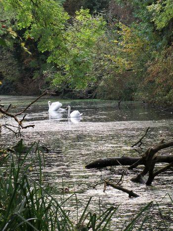 Swans Birds Canal Green Lake# Nature Swan Water Waterway Waterweed Wildlife & Nature