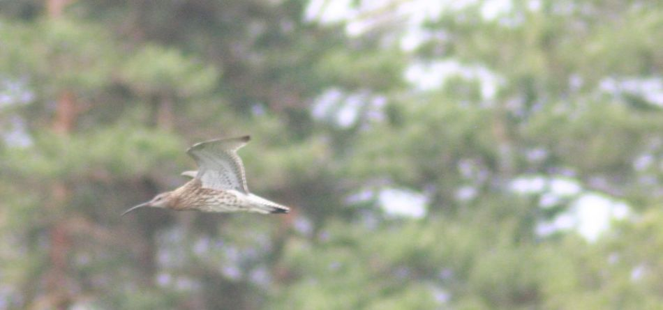 Beuty In Nature Beuty Of Nature Curlew Natrual Beauty  Natural Beauty Nature Nature On Your Doorstep Nature Photography Nature_collection Numenius Arquata Wild Life Wildlife & Nature Wildlife Photography Wlsphotoaday