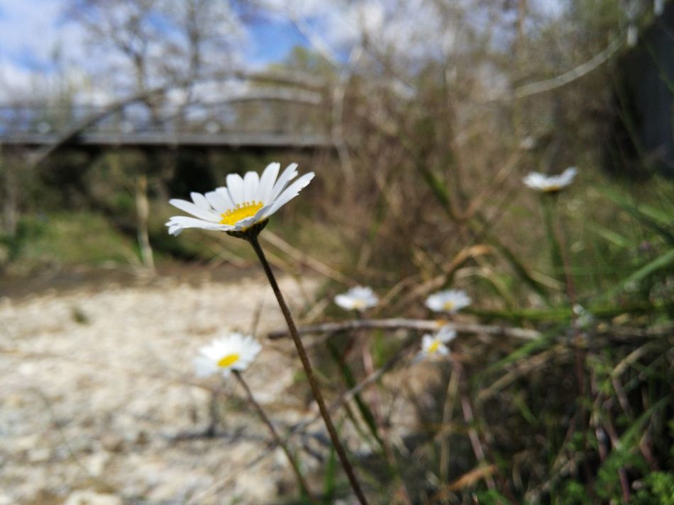 Flower Daisy Flower Ancient Olympia Beauty In Nature Plant First Eyeem Photo