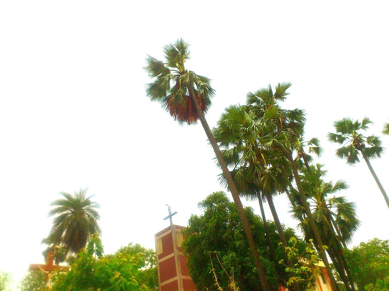palm tree, tree, low angle view, growth, no people, palm frond, tree trunk, architecture, day, clear sky, built structure, outdoors, building exterior, sky, nature