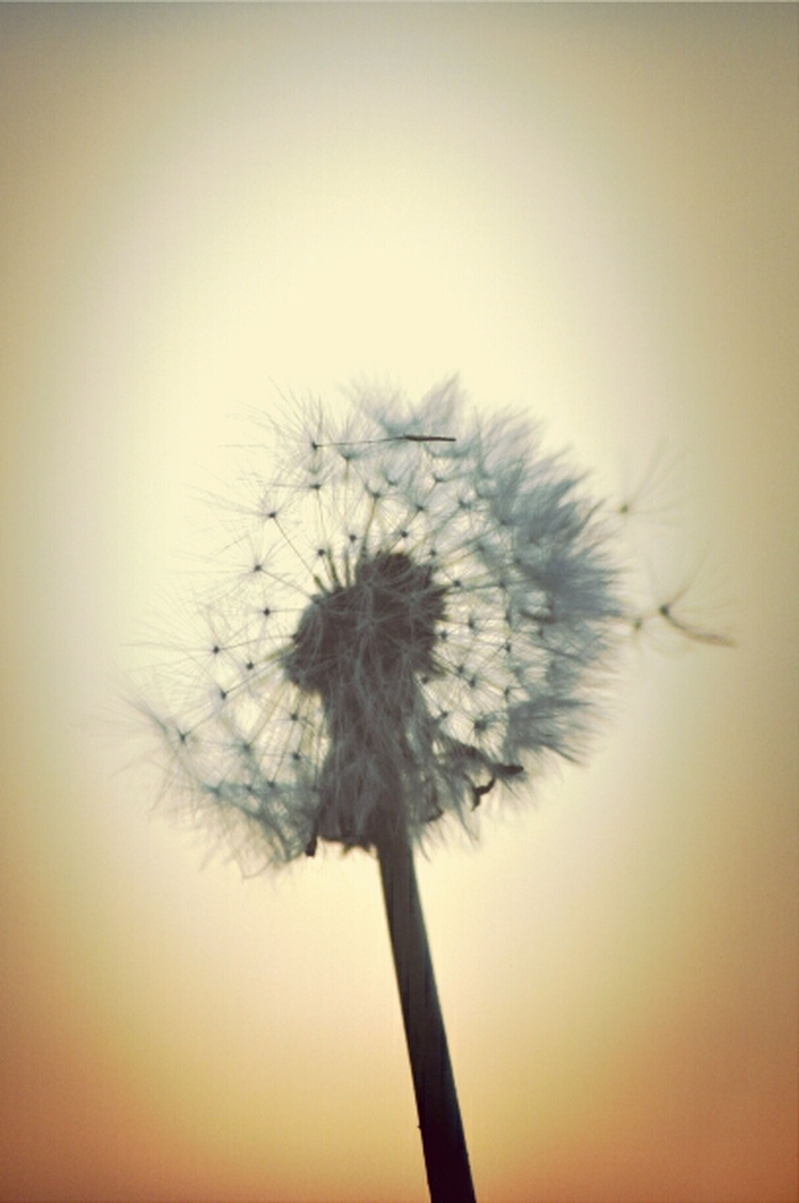 dandelion, stem, flower, growth, nature, fragility, beauty in nature, close-up, flower head, plant, single flower, no people, softness, copy space, sky, freshness, tranquility, outdoors, focus on foreground, simplicity